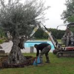 décoration jardin olivier